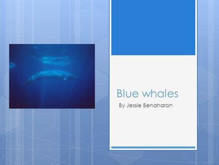 Blue whales By Jessie Benaharon. Blue whales are endangered and almost extinct! There were first 350,000 blue whales in the 1900s, now there are only.