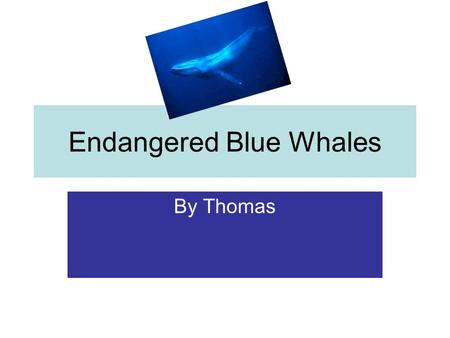 Endangered Blue Whales By Thomas. Introduction Blue Whales Are an Endangered species along with albatrosses, penguins, and turtles. So There are only.