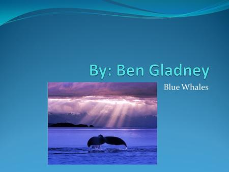 Blue Whales. Basic Facts Blue whales are mammals. Blue whales typically lives for 5-10 years. Blue whales size is 80-100 feet. Blue whales are blue and.