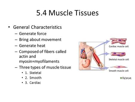 5.4 Muscle Tissues General Characteristics Generate force