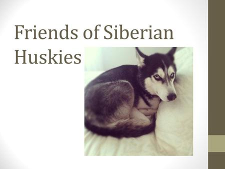 Friends of Siberian Huskies. What is Friends of Siberian Huskies? An organization, based in Ames, IA, is dedicated to rescue and adoption of abused and/or.