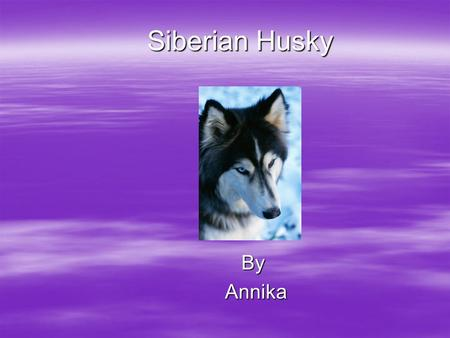 Siberian Husky By Annika Annika Mammal  It gives birth to live babies.  It has fur.  It breaths air and it has lungs.