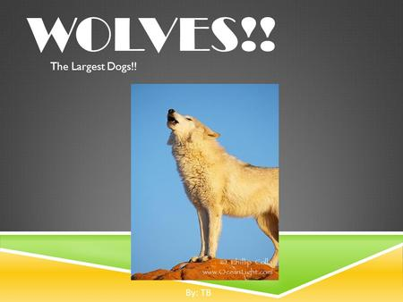 WOLVES!! The Largest Dogs!! By: TB. INTRODUCTION  Scientific name for wolf is canis lupus.  Largest member of the dog family.  There is really only.