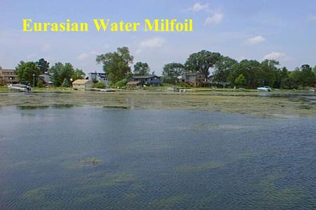 Eurasian Water Milfoil. Presentation Topics  Chapter 1 Functions and Benefits of Native Aquatic Plants  Chapter 2 History and Impacts of Eurasian Watermilfoil.