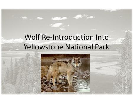 Wolf Re-Introduction Into Yellowstone National Park.