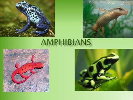  Earliest known amphibians evolved from the lobe-finned fish 400 million years ago.  The lobe-finned fish had strong fins the eventually turned into.
