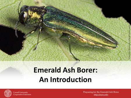 Preparing for the Emerald Ash Borer  Emerald Ash Borer: An Introduction David Cappaert, Michigan State University, bugwood.org.