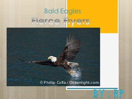 Bald Eagles. Introduction  Scientific name: Haliaetus Leucocephalus.(meaning: sea eagle)  Bald Eagles are only one type of eagle  There are many other.