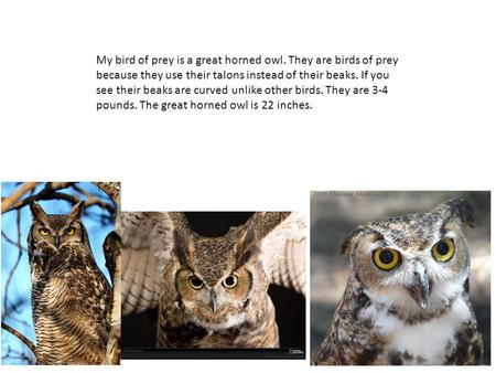 My bird of prey is a great horned owl. They are birds of prey because they use their talons instead of their beaks. If you see their beaks are curved unlike.