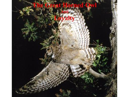 The Great Horned Owl And Loyalty. Think about how the great horned owl illustrates the characteristic of loyalty as you listen to the following story…