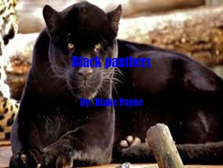 Black panthers By: Blake Payne. ADAPTATIONS Physical traits Black fur so they can hide in the night. Behaviorly traits They climb trees and like to stay.