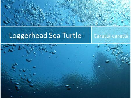 Loggerhead Sea Turtle Caretta caretta. Found in sub-tropical and tropical regions of the Atlantic, Pacific, and Indian Oceans. Along the surface or under.