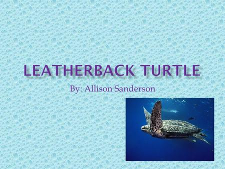 By: Allison Sanderson.  Common name: Leatherback  Scientific name: Dermochelys coriacea.