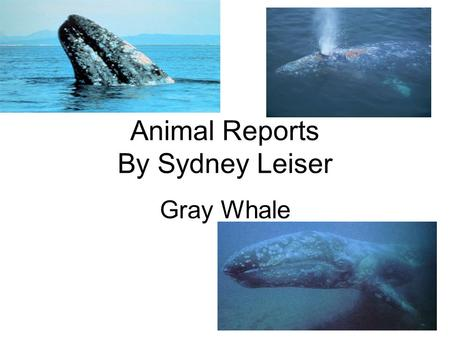 Animal Reports By Sydney Leiser Gray Whale. Introduction Did you know that whaling for the gray whale has raised in a big extinction by the 17 or 18 century.