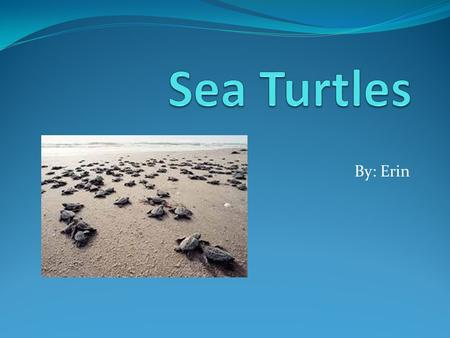 By: Erin. Where does Sea turtles live? Sea turtle live in all oceans except the artic ocean.