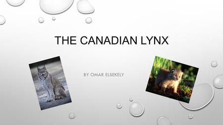 THE CANADIAN LYNX BY OMAR ELSEKELY. WHAT IS THE LYNX' HABITAT? BOREAL FOREST BELT OF NORTH AMERICA CANADA FROM NEWFOUNDLAND TO THE YUKON TERRITORY ALASKA.