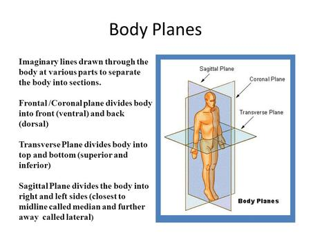 Body Planes Imaginary lines drawn through the body at various parts to separate the body into sections. Frontal /Coronal plane divides body into front.
