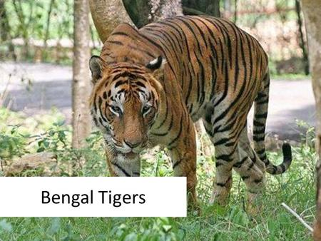 Bengal Tigers. What kind of animal are they? Tigers are the largest members of the cat family and are renowned for their power and strength. Scientific.