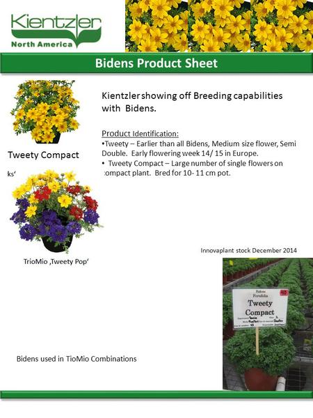 Bidens Product Sheet Produc t Identification: Tweety – Earlier than all Bidens, Medium size flower, Semi Double. Early flowering week 14/ 15 in Europe.