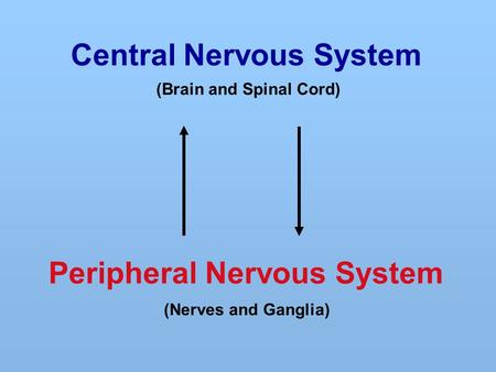 Central Nervous System Peripheral Nervous System (Brain and Spinal Cord) (Nerves and Ganglia)