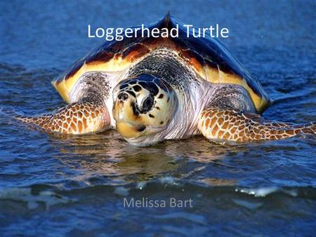 Loggerhead Turtle Melissa Bart. Habitat Hatchlings live in debris in open ocean drift lines and then migrate to the shallower coastal waters. Adults live.