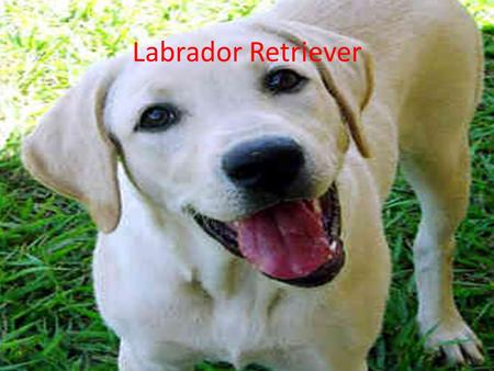 Labrador Retriever. People think that a dog is a man's best friend.