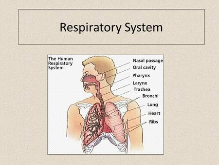 Respiratory System. Air sac air-filled spaces in the body alveoli very small air sacs; where air breathed in goes.