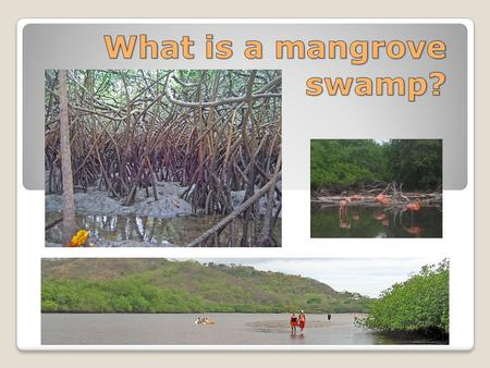 Mangroves require warm tropical conditions. The mangrove swamp is a wetland which is covered by water only at high tide. It is found between the shore.