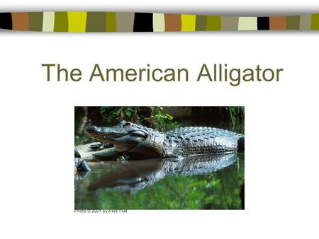 The American Alligator Photo © 2001 by Kent Vliet.