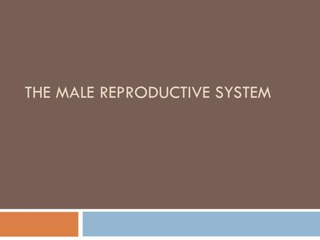 THE MALE REPRODUCTIVE SYSTEM. Male Reproductive System  External  Scrotum  Penis  Glans Penis  Foreskin  Internal  Testes  Epididymis  Vas Deferens.