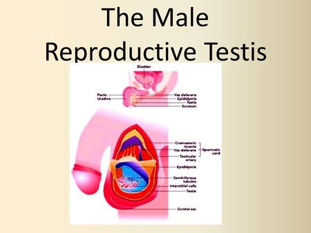The Male Reproductive Testis. What Are They? Two glands that are suspended within a sac that hang outside of the body called the scrotum. The are responsible.
