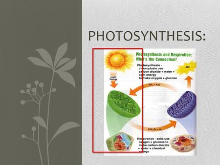 PHOTOSYNTHESIS:. Photosynthesis overview: Performed by PLANTS ONLY! All photosynthesis occurs in the chloroplast! Making sunlight into energy and oxygen.