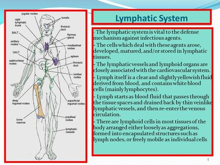 1 Lymphatic System - The lymphatic system is vital to the defense mechanism against infectious agents. - The cells which deal with these agents arose,