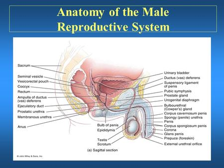 Anatomy of the Male Reproductive System