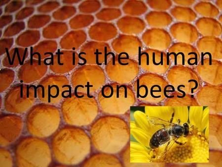 What is the human impact on bees?. HOW MANY BEES ARE LEFT IN THE WORLD? No one knows how many bees are left in the world because each day the queen bee.