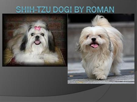 What it is  The Shih-Tzu is a dignified, lively, alert, happy, sweet and playful dog.