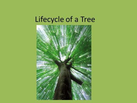 Lifecycle of a Tree. Lifecycle of Trees How to Measure & ID Week 1 Day 3 It is important that students understand the biology of trees to further be aware.