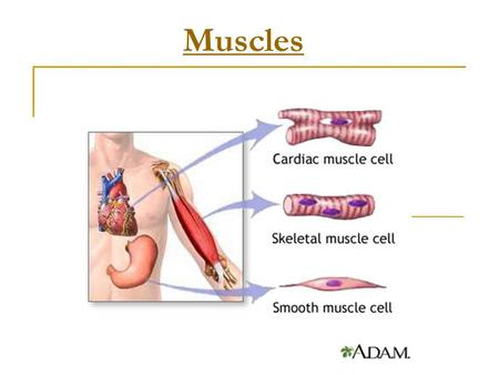 Muscles. Muscle Tissue Contains many mitochondria to power contractions Muscles are longer than they are wide Muscles are divided into fibers Muscle fibers.