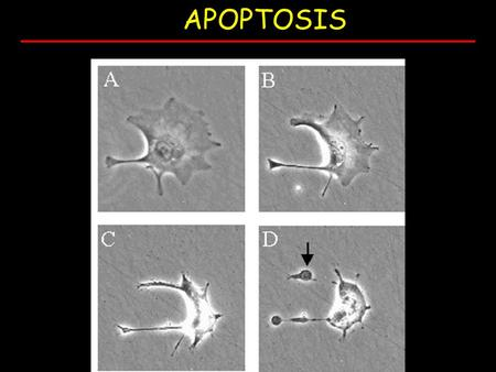 APOPTOSIS. Normal development e.g. immune system WHEN DOES APOPTOSIS OCCUR?