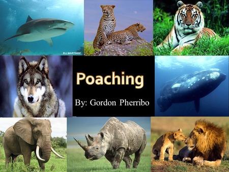 By: Gordon Pherribo. PPoaching is the illegal hunting, killing or capturing of animals.  Poaching can refer to the failure to comply with regulations.