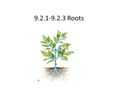 9.2.1-9.2.3 Roots. IB Assessment Statement 9.2.1 – Outline how the root system provides a large surface area for mineral ions and water intake by means.