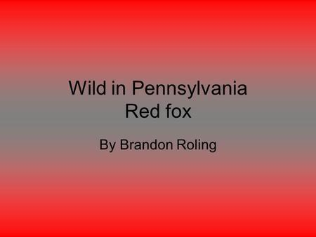 Wild in Pennsylvania Red fox By Brandon Roling. Introduction Do you like Red foxes? Well I'm going to tell you about Red foxes.