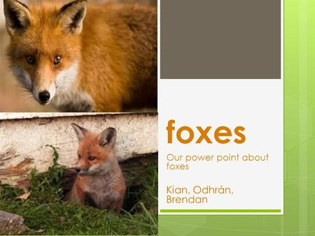 Foxes Our power point about foxes Kian, Odhrán, Brendan.