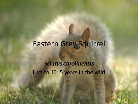 Eastern Grey Squirrel Sciurus carolinensis Live to 12. 5 years in the wild.