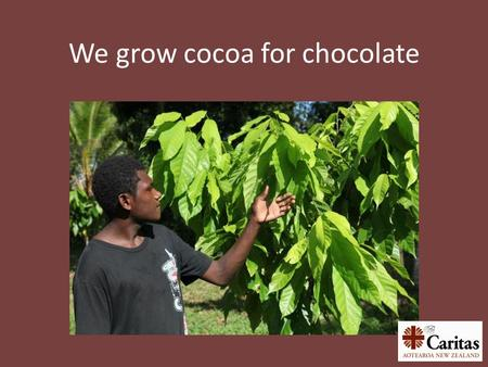 We grow cocoa for chocolate. Does chocolate grow on trees?