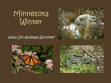 Minnesota Winter How Do Animals Survive?. Garter Snake How Does this Animal Survive Minnesota Winter? Hibernate? Migrate? Deals with the Cold?