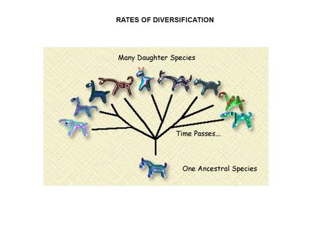 RATES OF DIVERSIFICATION. BACKGROUND Rapid rate of diversification often follows the adaptive radiation + (sexual) selection New niches Mutation New species.