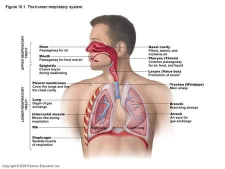 Copyright © 2009 Pearson Education, Inc. Figure 10.1 The human respiratory system.