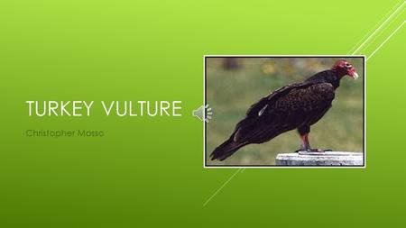 TURKEY VULTURE Christopher Mosso PHYSICAL CHARACTERISTICS Weight: 1.8 to 5.1lb. Height: 32 inches Feather color: dark brown Wing Span: 6 feet.