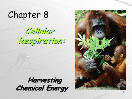 1 Chapter 8 Cellular Respiration: Harvesting Chemical Energy Harvesting Chemical Energy.